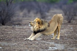 Lion Panthera_leo_stretching_(Etosha,_2012)