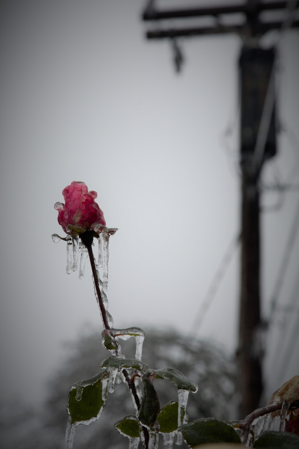 rose-and-pole-frozen